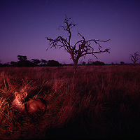 Africa, Botswana, Chobe National Park, Lion cubs (Panthera leo) rest in tall grass in Savuti Marsh before sunrise
