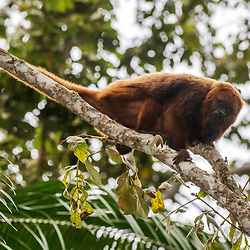 """Bugio-ruivo (Alouatta guariba) fotografado em Santa Maria de Jetibá, Espírito Santo -  Sudeste do Brasil. Bioma Mata Atlântica. Registro feito em 2016.<br /> <br /> <br /> <br /> ENGLISH: Howler monkey photographed  in Santa Maria de Jetibá, Espírito Santo - Southeast of Brazil. Atlantic Forest Biome. Picture made in 2016."""