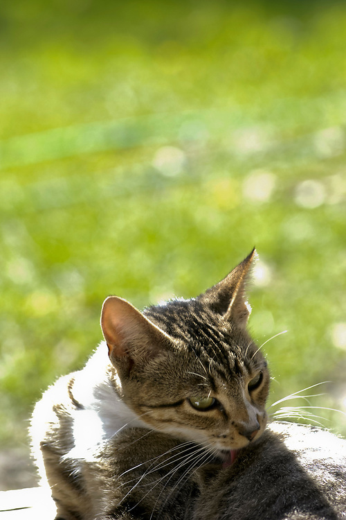 On May 12, 2003, a cat named Kitty enjoys a sunny spring day on a five-acre organic farm owned by Francisco Dremsa and his wife, Kilsa Baganha Dremsa, in Boscobel, Wis.