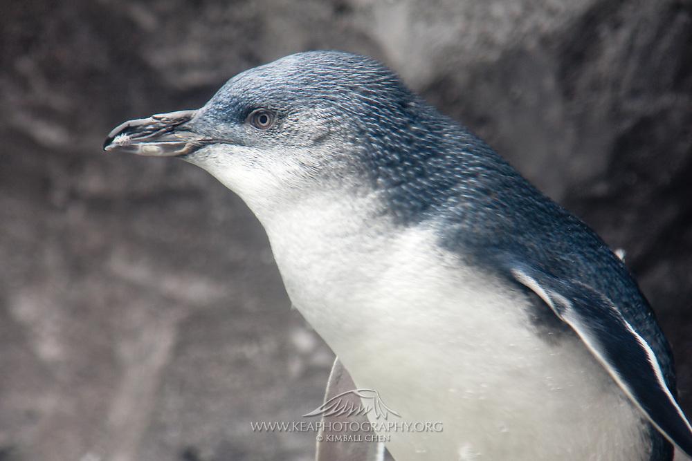 Blue Penguin, New Zealand