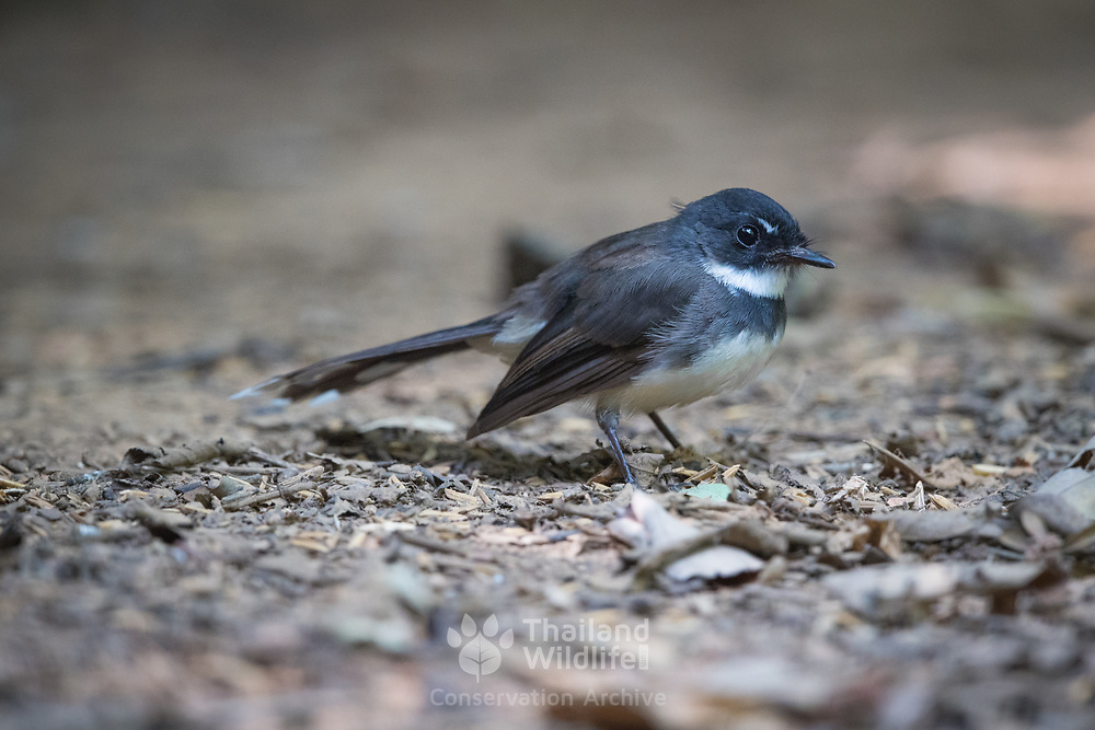 The Malaysian pied fantail (Rhipidura javanica) is a species of bird in the fantail family and one of 47 species in the genus Rhipidura.