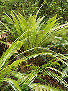 Ferns growing in the rainforest, Catlins Forest Reserve, South Island, New Zealand; near Purukaunui Falls.