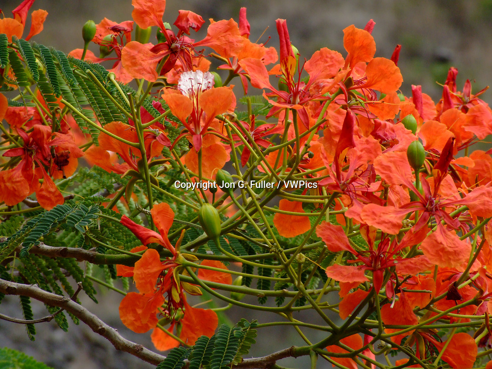 Bright red blossoms of the Flamboyant or Flame Tree, Delonix regia, or the Royal Poinciana.  Santo Antao, Republic of Cabo Verde.
