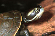 Hatcling turtles are dcertainly cute but they are also very shy, stay well hidden and are very rarely seen.