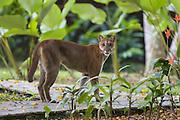 Mountain Lion<br /> Felis concolor<br /> Adult female in garden of ecolodge<br /> Osa Peninsula, Costa Rica