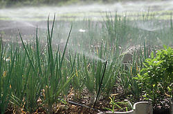 Onions growing in allotment or Organoponico in Havana; Cuba; with water sprayed onto plants through plastic pipe connected to central tap,