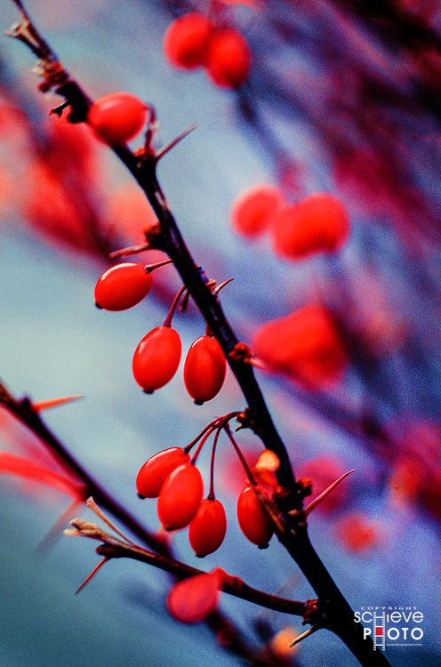 Red berries on a bush.