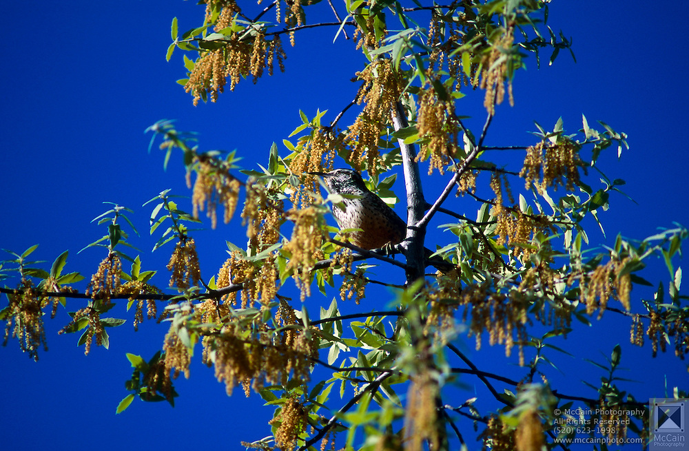 Cactus Wren (Campylorhynchus brunneicapillum) in tree, Arizona-Sonora Desert Museum, Tucson, Arizona...McCain Photography Job #02117.Images created April 4, 1994..Rights & Usage:.No rights granted. Subject photograph(s) are copyrighted by ©1994 Edward McCain/McCain Photography. All rights are reserved except those specifically granted by this invoice...McCain Photography.211 S 4th Avenue.Tucson, AZ 85701-2103.(520) 623-1998.mobile: (520) 990-0999.fax: (520) 623-1190.http://www.mccainphoto.com.edward@mccainphoto.com