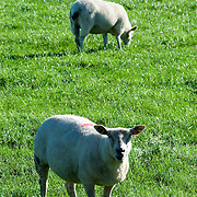 Sheep grazing on lush green grass in the Yorkshire Pennines