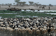 Herds of cattle, camels and goats with their shepherds flock to an oasis of water..© Demelza Cloke