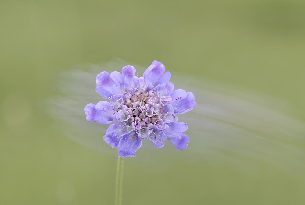 Small Scabious - Scabiosa columbaria