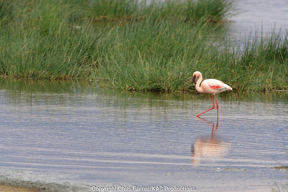 Lesser Flamingo (Phoenicopterus mino) wading along the water's edge, Ngorongoro Conservation Area, Tanzania, Africa; near threatened species; filter feeder