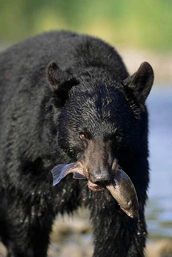 Black Bear, (Ursus americanus) Montana. Adult at river fishing. Fall.  Captive Animal.