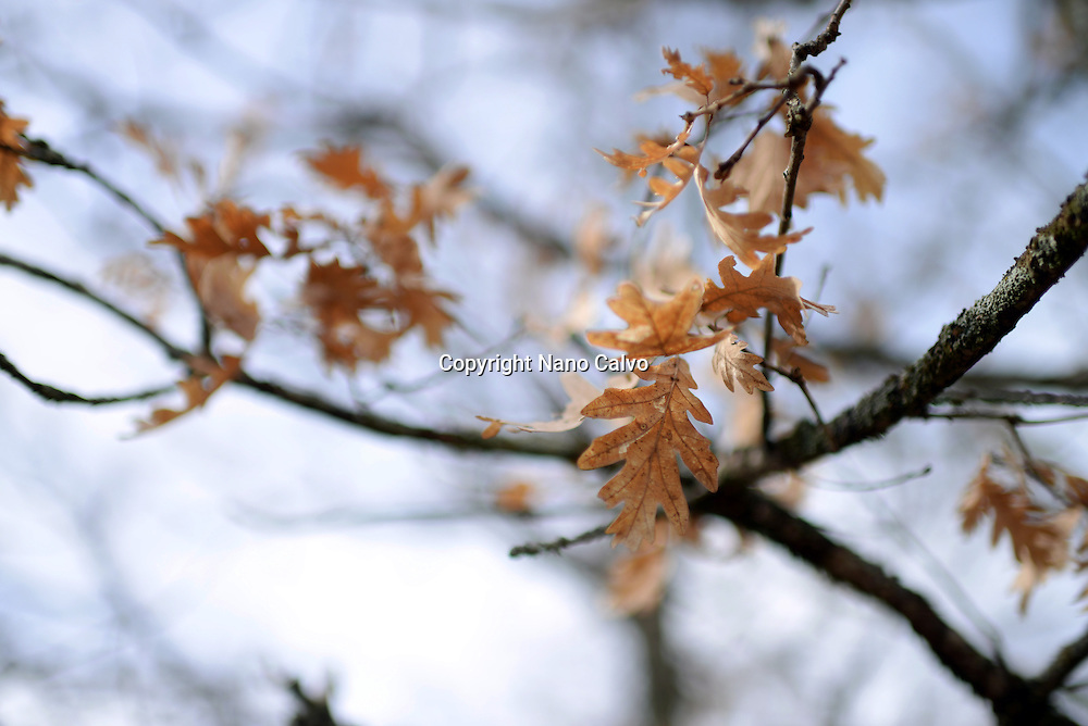 Brown leaves in forest tree