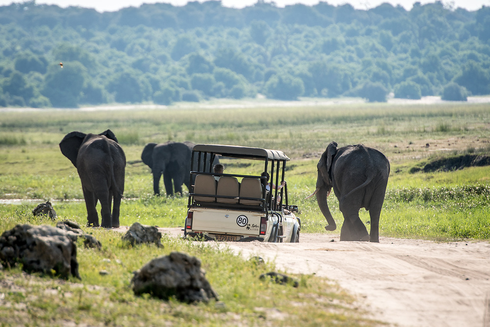 Game viewer vehicle navigates uneven terrain while driving next to a small group of African bush elephants (Loxodonta africana), Chobe National Park - Botswana