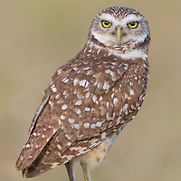 Perched burrowing owl (Athene cunicularia) looks out over its shoulder.
