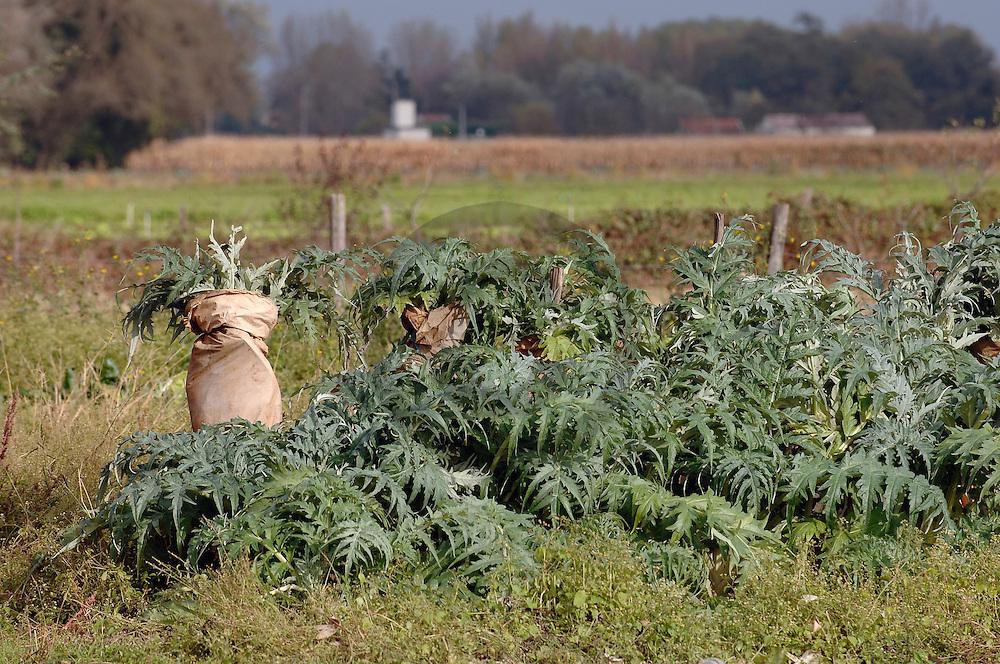 01/11/05 - LUCENAY - RHONE - FRANCE - Maraichage sur les bords de l AZERGUES. Blanchiment des cardons. Operation qui consiste a envelopper cette plante potagere proche de l artichaud - Photo Jerome CHABANNE