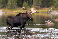 Bull Moose standing in the water
