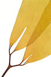 Giant bladder kelp (Macrocystis pyrifera), Playa Mendieta, Paracas, Peru, Pacific | Wachstumsbereich des Riesentanges (Macrocystis pyrifera) | AFP 785 Herbarium Akira Peters