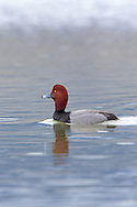 Mated pair of Redhead Ducks