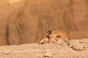 juvenile Nubian Ibex (Capra ibex nubiana). Photographed in Israel in January