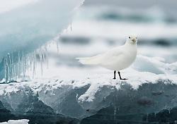 Ivory Gull (Pagophila eburnea) on ice in Svalbard, Norway