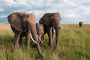 African bush elephants (Loxodonta africana) grazing on the savanna