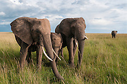 African bush elephants (Loxodonta africana) grazing on the savanna
