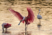 Early morning feeding spree by Roseate spoonbills in the Everglades