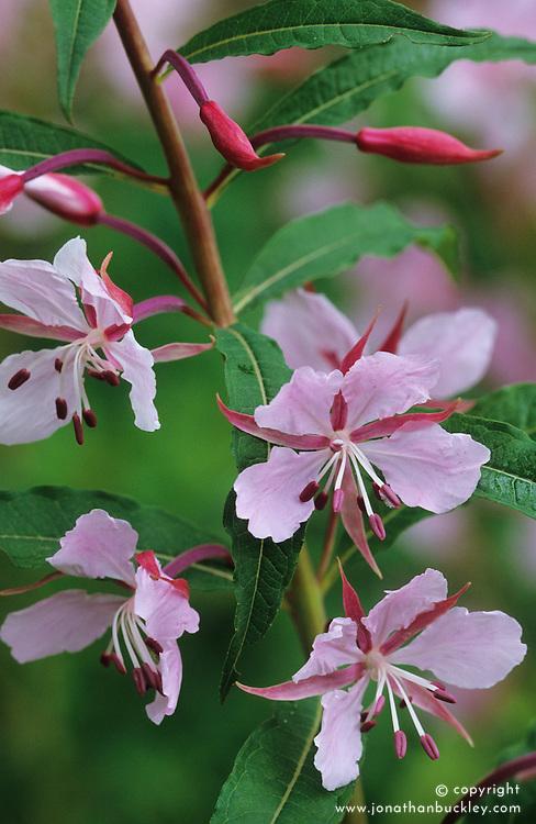 Epilobium angustifolium 'Stahl Rose' - Willow herb