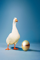 Goose standing beside golden egg studio shot