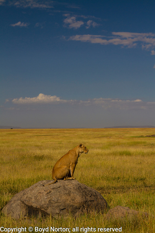 Lioness looking for lunch, Serengeti National Park, Tanzania