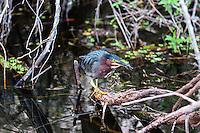 US, Florida, Everglades, Shark Valley. Green Heron.