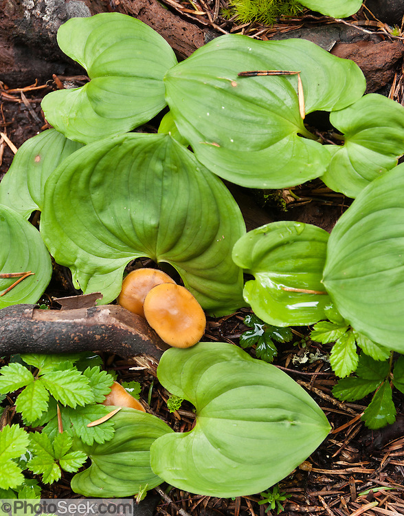 Fungi and False Lily-of-the-Valley (Maianthemum, in the Lily Family) leaves grow together on the verdant Lake 22 trail, near Verlot on the Mountain Loop Highway, in Snohomish County, Washington, USA.