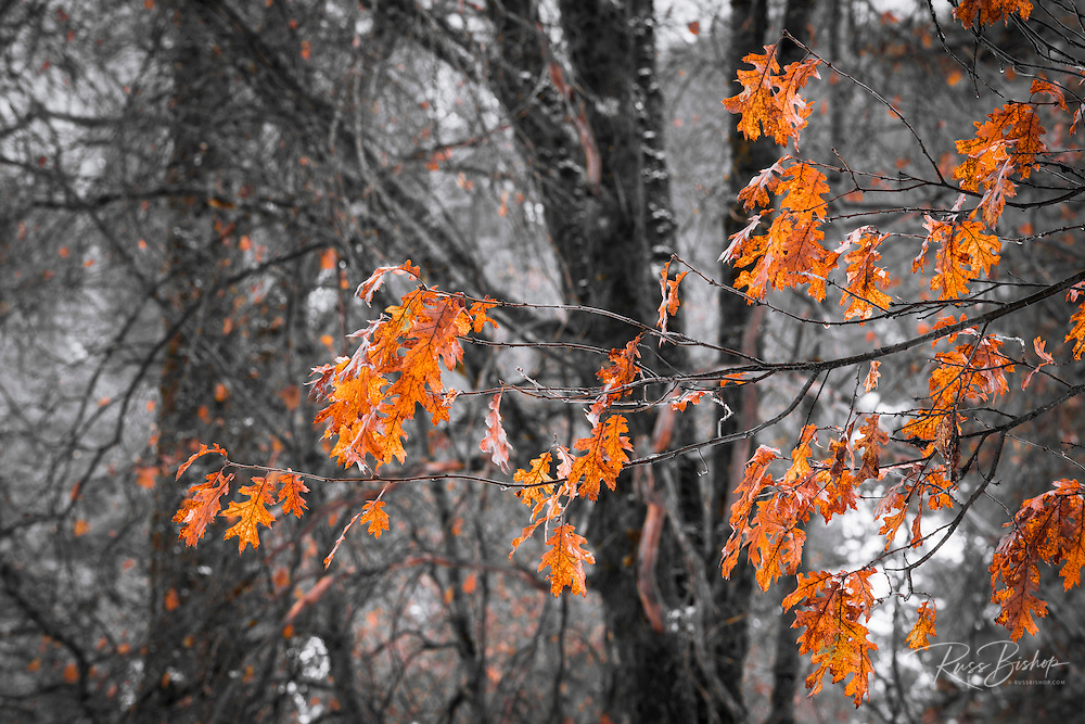 Black oak leaves in winter, Yosemite Valley, Yosemite National Park, California USA