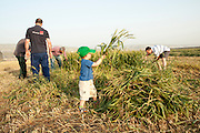 Children and families harvest a wheat field celebrating spring harvest. Photographed at Kibbutz Ashdot Yaacov, Israel