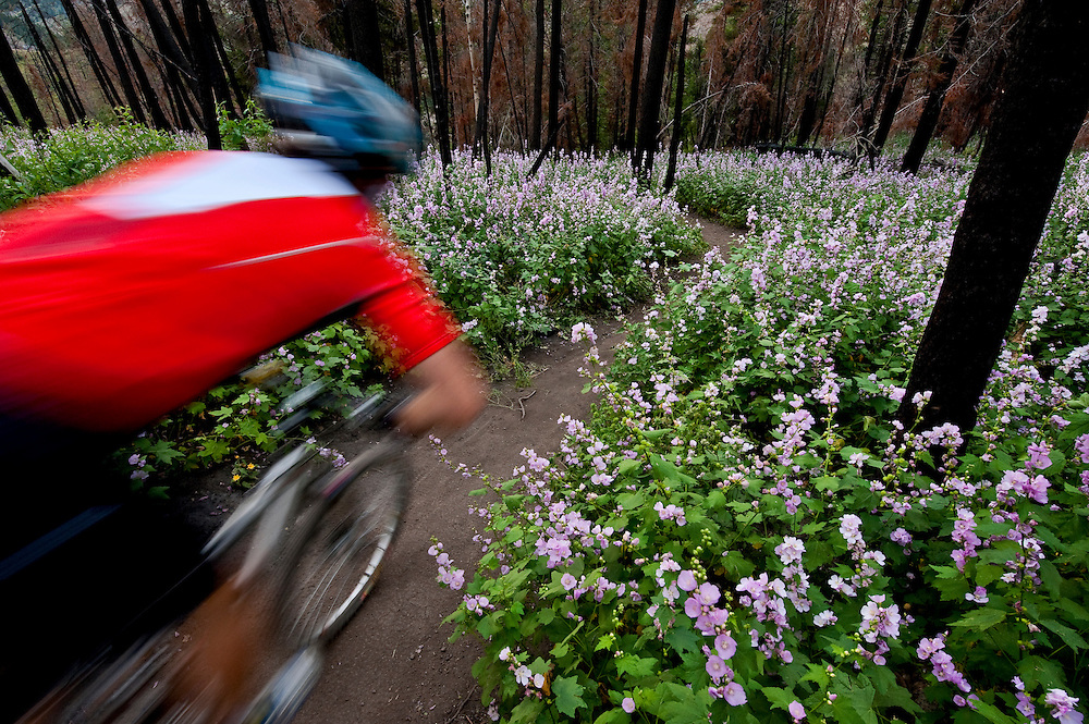 Mountain biker zips through the Streambank Globe Mallow or Wild Hollyhock (Iliamna rivularis) flowers that were trigger by forest fire the year before flowers can remain dormant for 100 years MR