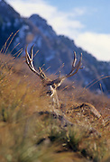 12-012. A mule deer buck with large antlers is bedded on a hillside in the Rocky Mountains of Colorado.