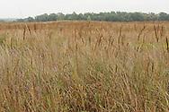 Tall Prairie Grass, Prophetstown State Park, Indiana, USA