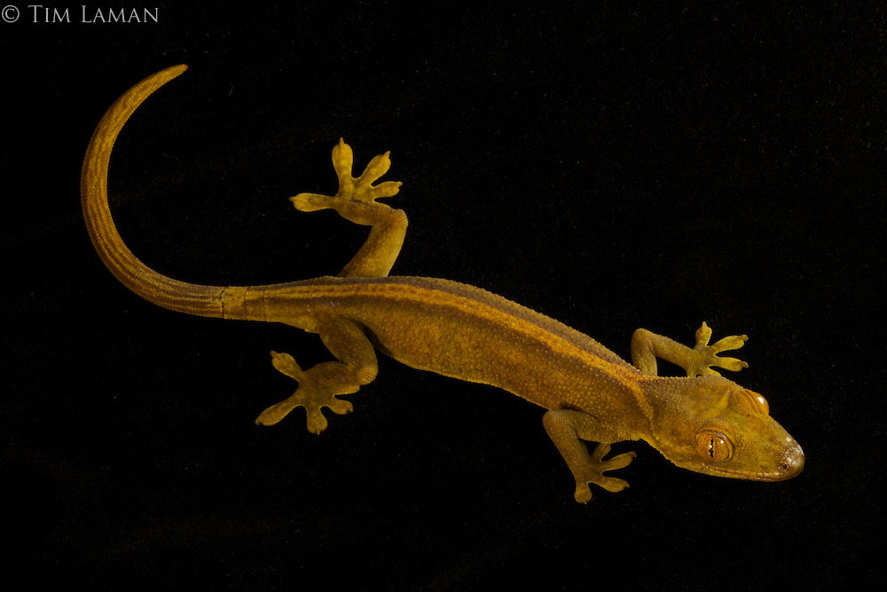 White-striped Gecko (Gekko vittatus)