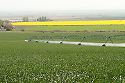 Wheat and Canola fields at Madison Farms