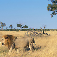 Africa, Botswana, Chobe National Park, Lion (Panthera leo) walks through grass on Savuti Marsh in morning