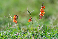 Orange bulbous flowers growing amongst open grasslands, Addo Elephant National Park, Eastern Cape, South Africa