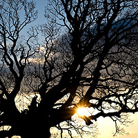 Picture Christian Cooksey.Restoration of the Walled Garden at Dumfries House near Cumnock, Ayrshire between January 2013 and July 2014. The sun sets on the 300 year old Sycamore, the centrepiece of the garden.