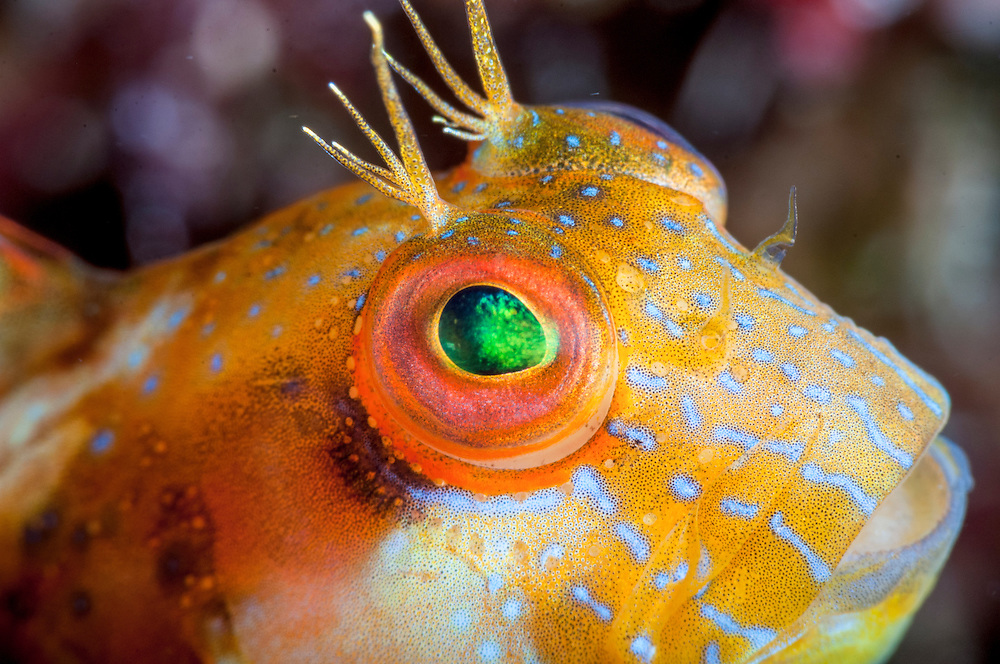The male seaweed blenny will guard the eggs of his many female mates. Image made off Eleuthera, Bahamas
