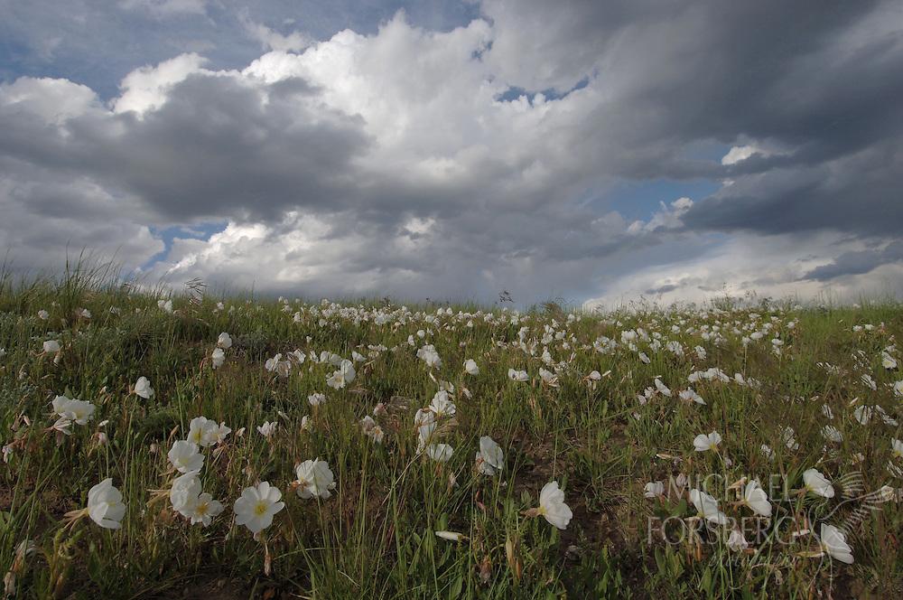 An early summer flush of prairie evening primrose nods in the breeze.  Sioux County, Nebraska.
