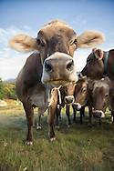 Brown Swiss Standing looking at the camera with other cows behind