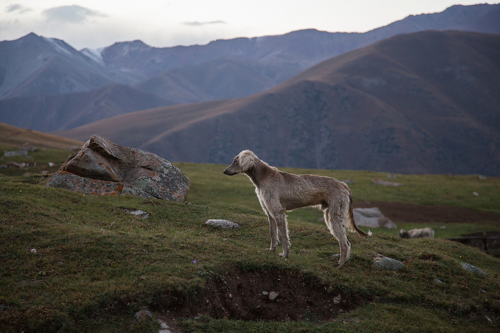 A speedy hunting dog is one of the dogs used to protect cattle, sheep, goats and horses from wolf packs that still live in the Chon Kemin Valley.