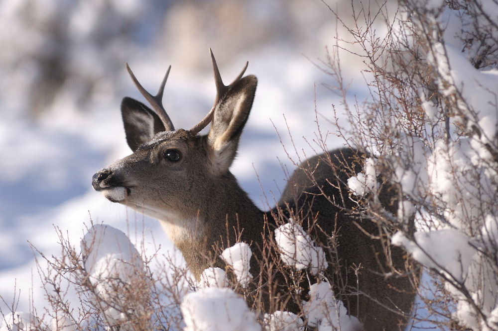 Mule Deer in Winter,Central Oregon ,Oregon,USA,..
