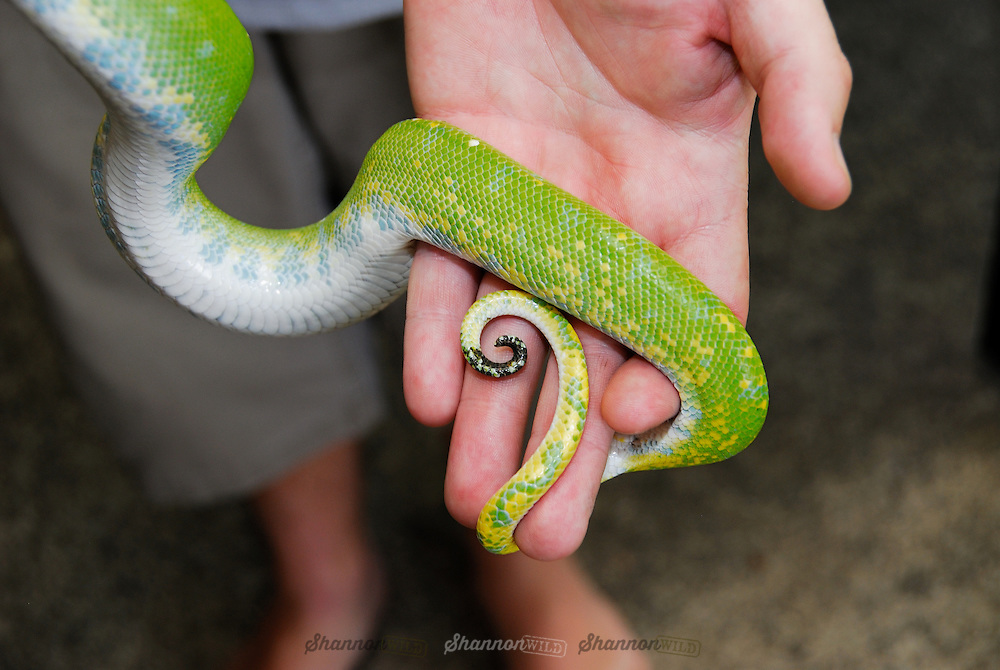 Green Tree Python (Morelia viridis) is a non-venomous python species found in the Cape York Peninsula in Australia, New Guinea and various islands in Indonesia.  This individual still retains some yellow colouring from before its ontogenetic colour change.